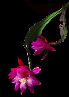 Dangling Epiphyllums