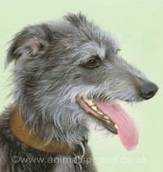 Blue - gorgeous retired lurcher now in a loving home