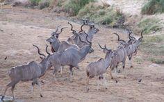 Kudus, Kruger National Park, South Africa
