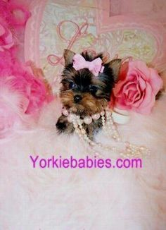 Some of the Tiniest, Most Beautiful Teacup Yorkie Puppies in the World! Teacup Yorkie and Small Toy Yorkies for Sale. Micro Yorkies, Micro Teacup Yorkie, Teacup Yorkie For Sale, Teacup Chihuahua Puppies, Yorkies For Sale, Yorkie Puppy For Sale, Yorkie Dogs, Terrier Puppies, Miniature Yorkshire Terrier