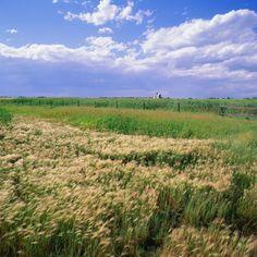 Nebraska isn't just about corn.  We have wheat too! Lol