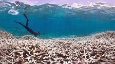 El Niño may stretch the longest recorded global coral bleaching event into 2017 - http://eleccafe.com/2016/02/24/el-nino-may-stretch-the-longest-recorded-global-coral-bleaching-event-into-2017/