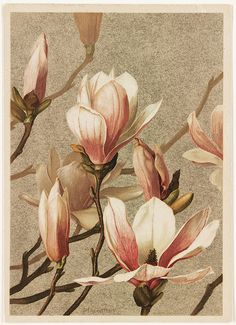 Magnolia Title: Magnolia Creator/Contributor: Fisher, Ellen T. Prang & Co. (publisher) Date issued: Copyright date: 1886 Physical description note: Genre: Chromolithographs; Still life prints Location: Boston Public Library, Print Department Vintage Botanical Prints, Botanical Drawings, Botanical Art, Art Floral, Flower Images, Flower Art, Watercolor Flowers, Watercolor Art, Poster Mural
