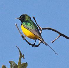 Pygmy Sunbird, Hedydipna platurus: Gambia