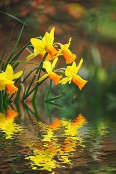 6 Fun Facts About Daffodils - Daffodil Narcissus: It is a genus of the family Amaryllidaceae native to the Mediterranean basin an - Roses Pink, Yellow Roses, Purple Flowers, Tea Roses, Exotic Flowers, Pansies, Daffodils, Gladiolus, English Roses