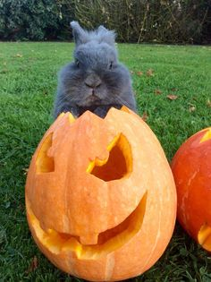 Calypso loves Halloween #cute #pet #animal #dog #chien #pup #puppy #chiot #halloween
