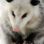 Opossums are basically a large rodent and can cause similar damage to electrical wires, soffits and vents. We specialize in raccoon abatement, commercial raccoon removal and raccoon exclusion as well as repair. More details:http://www.critterandpestdefense.com/services/opossum-trapping/