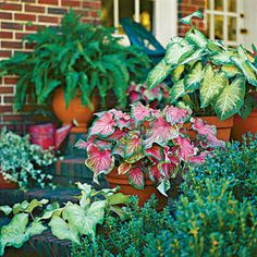 Caladiums   The colorful foliage of caladiums has tons of drama. Pots containing three different caladiums add color and variety to this entry in summer. From left to right: 'June Bride,' 'Pink Gem,' and 'Aaron'