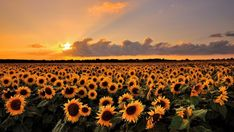 *🇬🇧 Sunflower sunset (England) by Andreas Jones Aesthetic Desktop Wallpaper, Laptop Wallpaper, Share Pictures, Pretty Pictures, Capas Facebook Tumblr, Twitter Cover Photo, Animated Gifs, Laptop Backgrounds, Sunflower Wallpaper