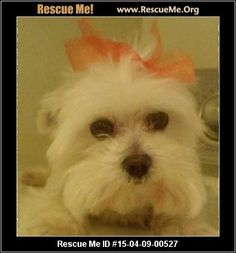 Rescue Me ID: 15-04-09-00527angel (female)  Maltese  Age: Senior  Compatibility:Good w/ Most Dogs, Good w/ Most Cats, Good w/ Kids and Adults Personality:Average Energy, Somewhat Dominant Health:Spayed, Vaccinations Current, Aggressive  she is around 5 lbs can be aggressive at times with people if you are trying to groom her give her a bath gets along ok with other dogs except if they try to do something to her she will bite at them she can be playful does not seem her age at…