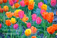 Colorful Tulips by LBENNINGPHOTO on Etsy, $25.00