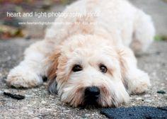 wheaton terrier. Looks just like my boy Lenard!