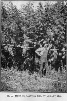 1903 Cannabis Hemp Farmer | Repined By 5280mosli.com | Organic Cannabis College | Top Shelf Marijuana | High Quality Shatter