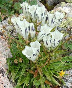 Gentiana algida - - Xinjiang: Yili 12 seeds per package. Alpine Garden, Alpine Plants, Rock Flowers, White Flowers, Alpine Flowers, Beautiful Nature Pictures, White Gardens, Gras, Cool Plants