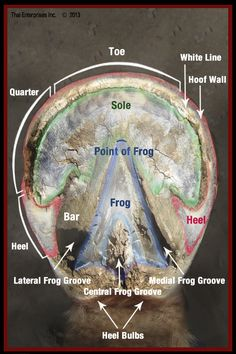 Hoof sole from our Vitals & Anatomy - see the rest of our visual guides here http://bit.ly/1EudMhS #horsevet