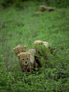 Small Group of Cheetah Cubs, Kruger National Park, South Africa, Africa