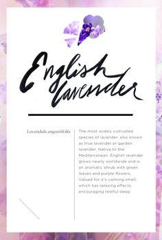 Wellness Encyclopedia: Why We Love Lavender + DIY Lavender Sleep Oil | Free People Blog #freepeople