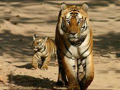 Sariska Tiger Reserve - in Rajasthan, India