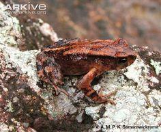 African True Toad | True toad (Adenomus dasi) | Endangered Amphibians | Pinterest