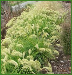 Chionochloa Flavicans  H 75cm x W 1m  Plant in sun or semi-shade  Tolerant of windy and dry conditions  Photo: Justin Lewis such a good landscaping plant
