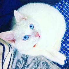 ねぇ、ゴハンまだ?🍽🍳🍣 #cat #socute #catstagram #catlove #catphot #もふもふ部 #みんねこ#白猫部#可愛い#愛猫#おねだり#食いしん坊#いたずら坊主 #やんちゃな子猫 #topazblue #お鼻ピンク #猫のいる生活 #猫のいる暮らし #にゃんこlove #🐈#🍽#🐾#猫舌