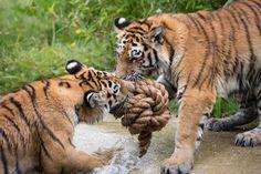 Woburns Big Cats & Tiger Cubs Enjoy Purr-fect Day of Enrichment with Giant Toys Wool & Cardboard Boxes Mews #katzenworld ねこ cat cats cute 猫 ネコ katze katzen kawaii woburn safari park