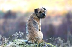 """Maggie BorderTerrier on Twitter: """"Practicing my 'over-the-shoulder' red carpet look"""""""