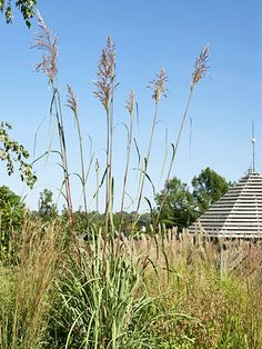 1000 images about grasses on pinterest ornamental for Ornamental grass in containers for privacy