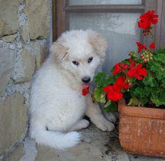 Maremma Sheepdog puppy with a flower photo