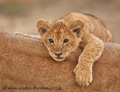 Lazy days in the Masai Mara... A Lion Cub using mums back as a warm and comfortable resting place... by Austin Thomas on 500px