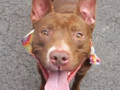 """UNKNOWN 6/8  6/7 SUPER URGENT BRINKLEY aka BROWNIE - A1075742 BRINKLEY aka BROWNIE - A1075742 TO BE DESTROYED 06/07/16 A volunteer writes: Brinkley has it all: good with kids, cats, dogs and strangers. In my book, that spells....""""FAMILY DOG"""". So, why is this little gem with us? Her long term owners (Brinkley was owned since tender puppyhood) unfortunately, moved to a place not allowing pets. Wonderful comments accompany Brinkley, her main qualities being a sweet and playful pooch. Brinkley…"""