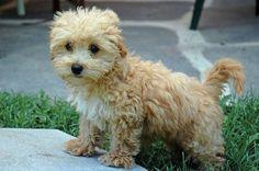 Adorable Poodle Dog