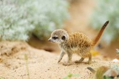 Close-up of Young Meerkats (Suricata suricatta) in Summer, Bavaria, Germany by Radius Images - Photo 186886115 / 500px