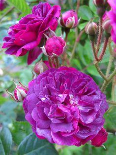 'Bleu Magenta' Rose