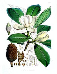 Vintage Flower Botanical Print. Magnolia
