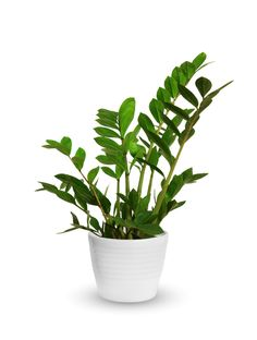 Getting To Know The ZZ Plant (Zamioculcas zamiifolia)  ZZ plants are known as flowering plants, but they very rarely produce flowers. Instead, the plant is known for its wide, dark green leaves. They can make great desk plants or floor plants and can grow quite tall if left alone.