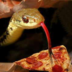 Garter snakes eat pizza. Their diets consist of almost any pizza they are capable of overpowering.