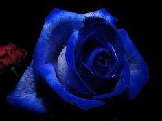 Imagen: Hermosa Rosa De Color Azul | Imagenes De Rosas Blancas