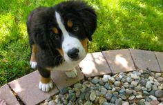Baby Bernese Mountain Dog