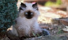 The Himalayan is a beautiful cat with a sweet personality. Learn more here about this breed.