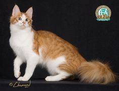 weight: - pounds One of the most outgoing and affectionate of all cat breeds, the rare and beautiful Turkish Angora has a f. Turkish Van Cats, Turkish Angora Cat, Angora Cats, Pretty Cats, Beautiful Cats, Cute Cats, All Cat Breeds, Domestic Cat Breeds, Cat Anatomy