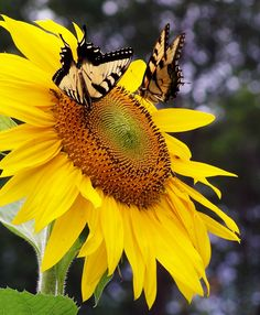 Two butterflies on sunflower Photo by: Patricia Perdue