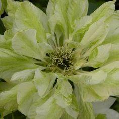 Clematis patens 'Yukiokoshi' sur www.clematite.net #clématite #clematis #fleurs #fleur #grimpante