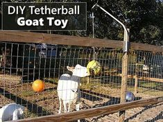 DIY Tetherball Goat Toy - hours of head butting fun. Keeping Goats, Raising Goats, Goat Playground, Playground Ideas, Tier Zoo, Goat Shelter, Goat Pen, Goat Care, Nigerian Dwarf Goats