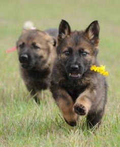 Van Meerhout German Shepherds - Photo Gallery