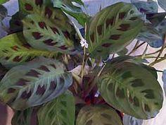 Тенелюбивые комнатные растения. Уход