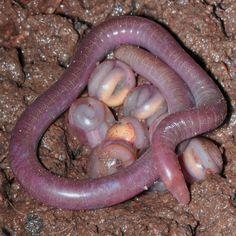 Newly Discovered Legless Amphibians