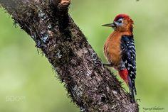 Rufous-bellied woodpecker - null