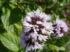 'Eau de Cologne Mint' ( Mentha x piperita var.JPG or bergamot mint. Apart from being fragrant it has medicinal properties. Live Plants, Mint Herb, Mint Plants, Plant Care, Hardy Perennials, Planting Herbs, Herb Garden Design, Plants, Plants Online