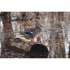 """Standing on a Log"" by Judy M Tomlinson Photography  http://www.judymtomlinsonphotography.ca/ #wildlife #bird#duck#mallard#londonontariophotographer #gibbonspark #printsforsale"
